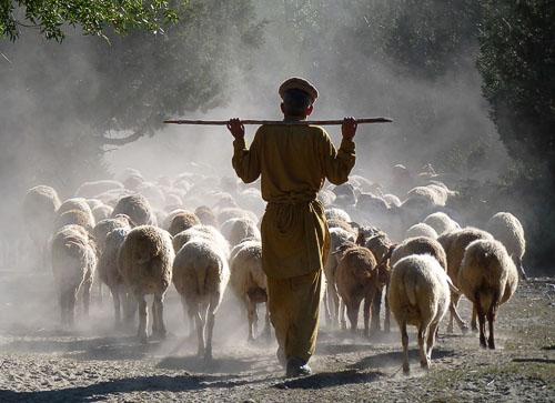 Pasáček a stádo ovcí