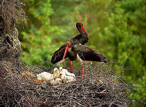 Kompletní rodinka čápů černých