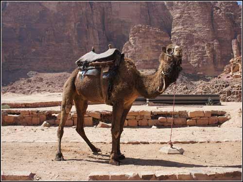 Turistů je málo a velbloud se nudí.