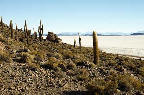 BOLIVIA, 13.6.–14.7.2013 - Salar de Uyuni (= Salar de Tunupa), Isla Pescador. Cactaceae, kaktusovité.